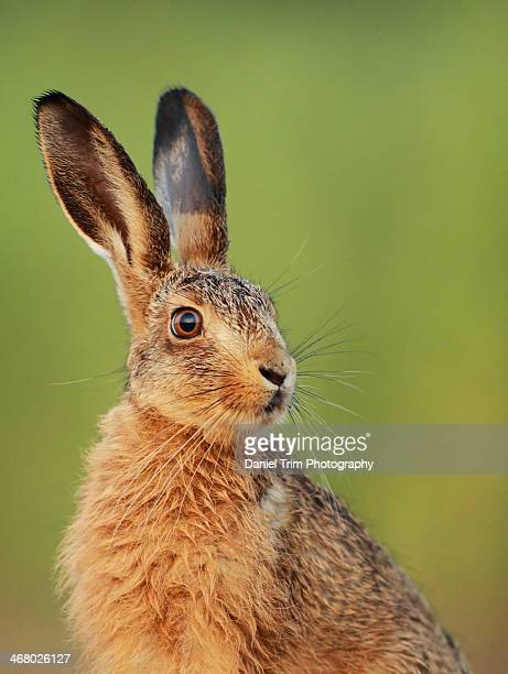 european brown hare leveret - hare stock pictures, royalty-free photos & images