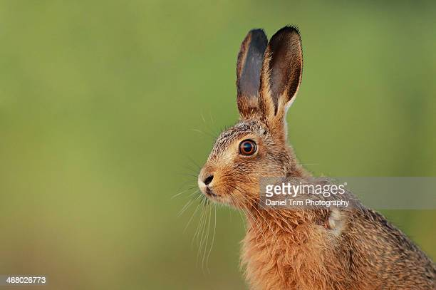 european brown hare leveret - brown hare stock pictures, royalty-free photos & images