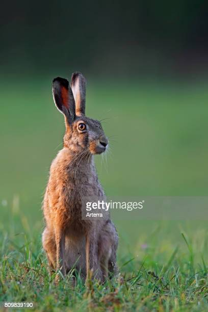 European Brown Hare sitting in grassland