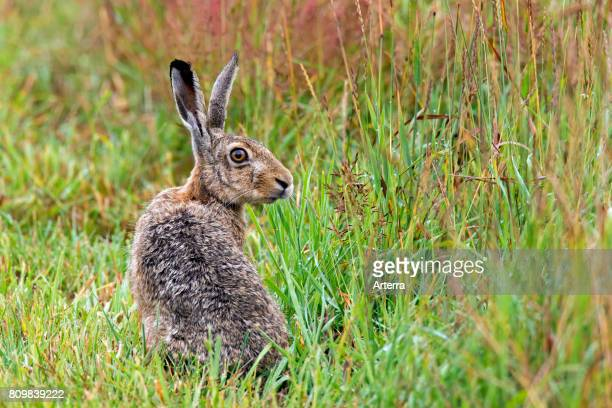 European Brown Hare sitting in meadow