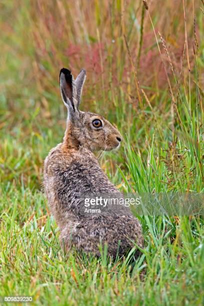 European Brown Hare sitting in meadow