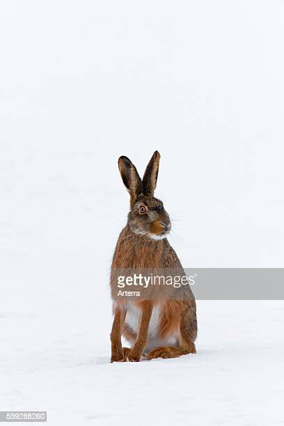European Brown Hare sitting in the snow in winter Germany
