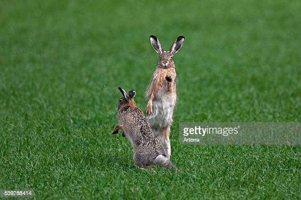 European Brown Hares boxing / fighting in field during the breeding season Germany