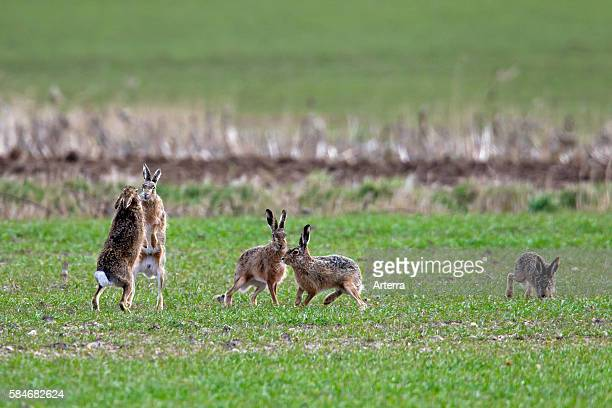 European Brown Hares female boxing / fighting with male in field during the breeding season