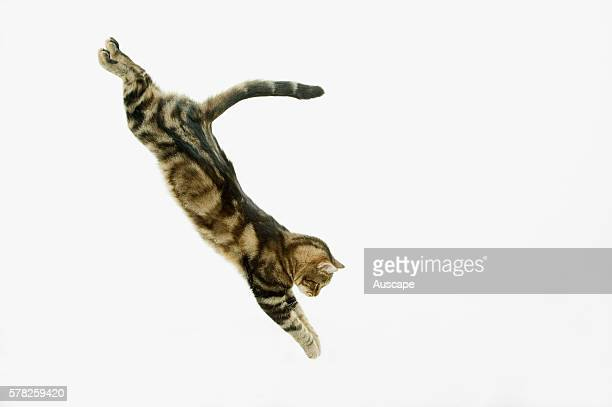European brown tabby Felis catus in mid downwards leap studio photograph