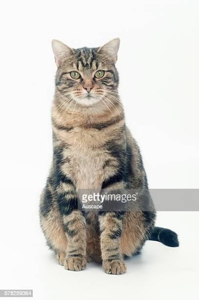 European brown tabby Felis catus seated portrait studio photograph
