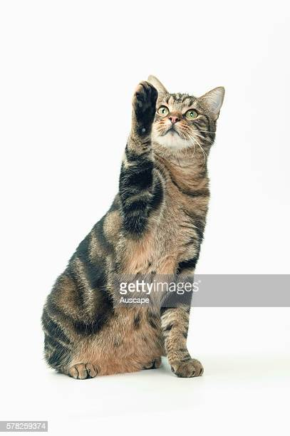 European brown tabby Felis catus seated portrait with front paw raised studio photograph