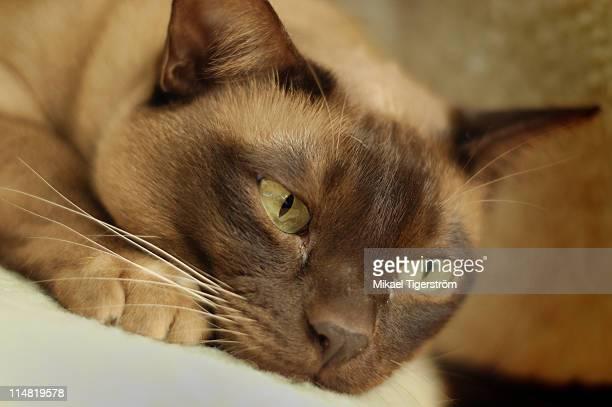 european burmese - burmese cat stock pictures, royalty-free photos & images