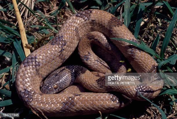 European Cat Snake Colubridae