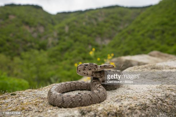 european cat snake - cat snake stock photos and pictures