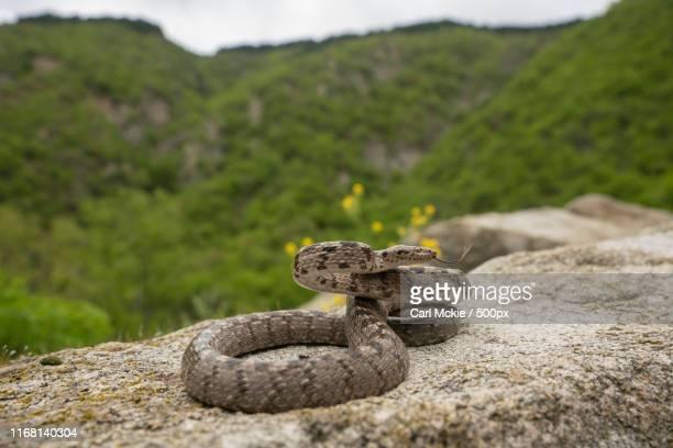 European Cat Snake