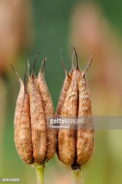 European columbine Aquilegia vulgaris