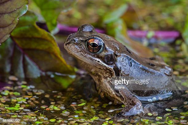 European common brown frog in pond