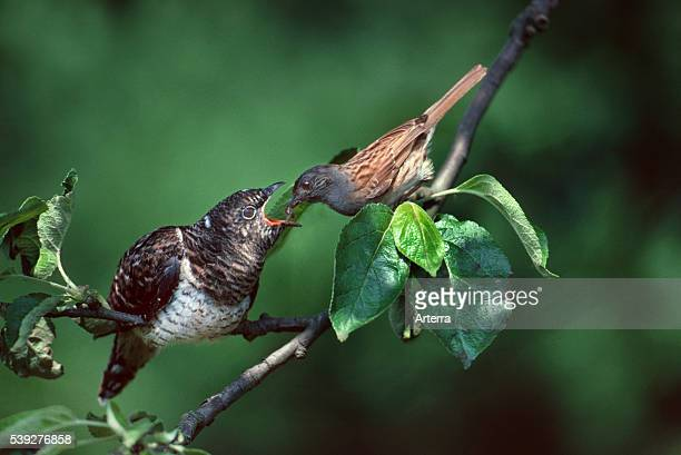 European common cuckoo chick brood parasite fed by dunnock