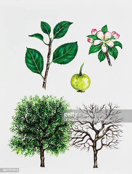 European crab apple Rosaceae tree with and without foliage leaves flowers and fruit illustration