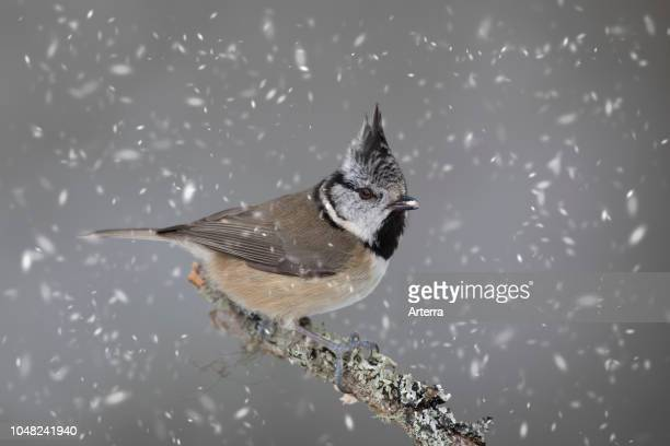European crested tit perched in tree during snowfall in winter