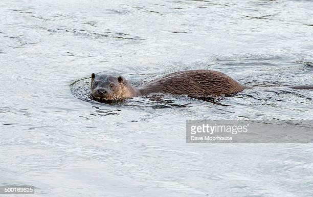 European dog Otter (Lutra lutra)