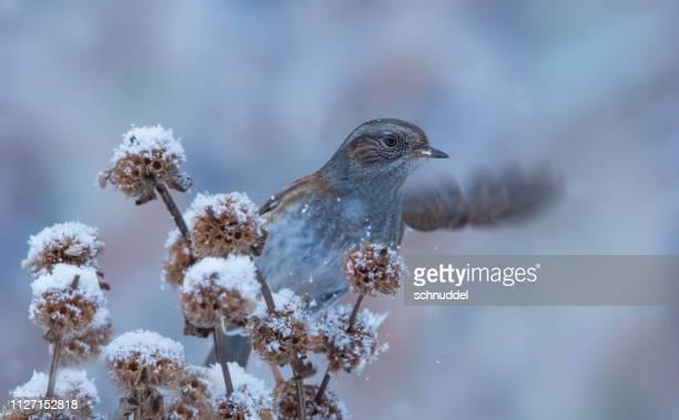 europese heggenmus in de winter - niedlich stockfoto's en -beelden