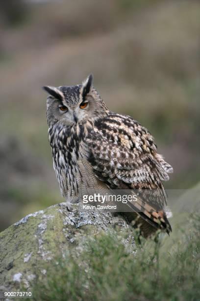 european eagle owl (bubo bubo), adult, perched on a rock, england, united kingdom - hibou grand duc photos et images de collection