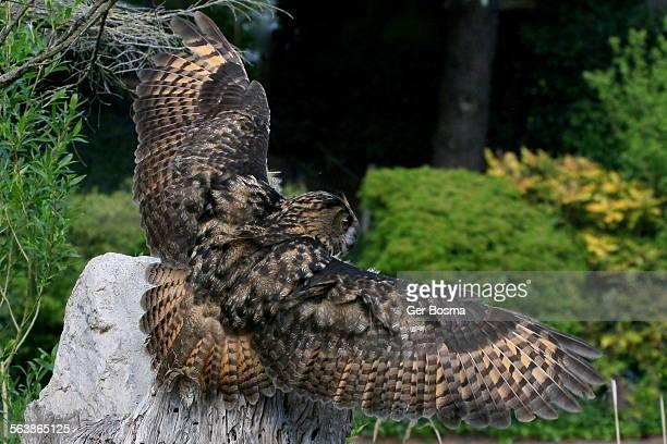 European Eagle Owl Incoming
