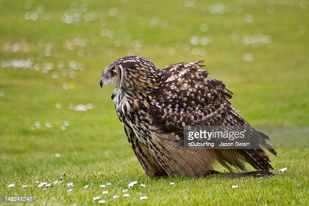 european eagle owl - s0ulsurfing stock pictures, royalty-free photos & images