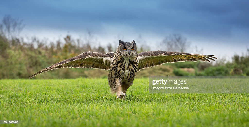 This is a low angle, horizontal panoramic shot of a European eagle owl, wings outstretched and running towards me on the grass. Focus point is on the eyes.