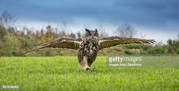European eagle owl running