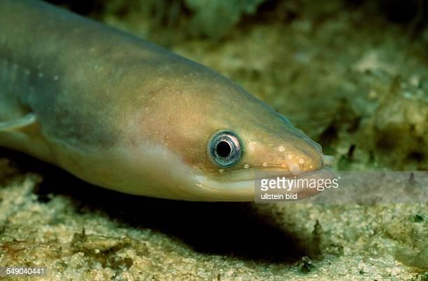 European Eel Anguilla anguilla Baltic Sea Germany