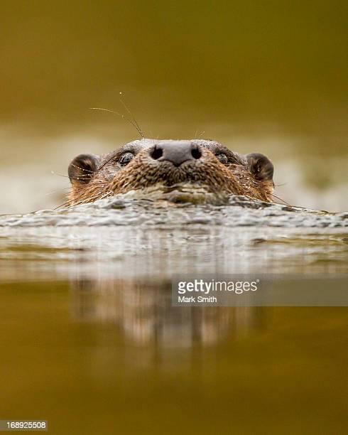 european / eurasian otter (lutra lutra) - lontra imagens e fotografias de stock