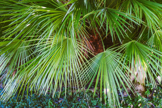 European fan palm leaves (Chamaerops humilis)