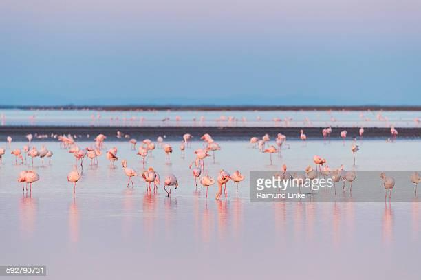 european flamingo at dawn - サントマリードラメール ストックフォトと画像