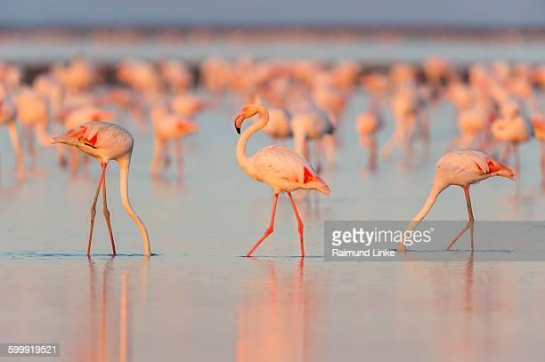european flamingo, phoenicopterus roseus - greater flamingo stock photos and pictures