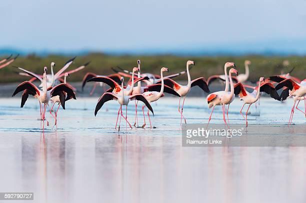 european flamingo - サントマリードラメール ストックフォトと画像