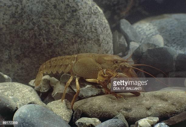 European freshwater crayfish underwater
