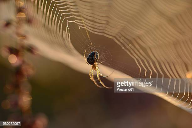 European garden spider, Araneus diadematus, hanging at spider's web