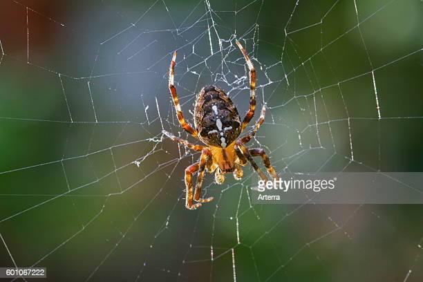 European garden spider / diadem spider / cross spider / cross orbweaver in web.