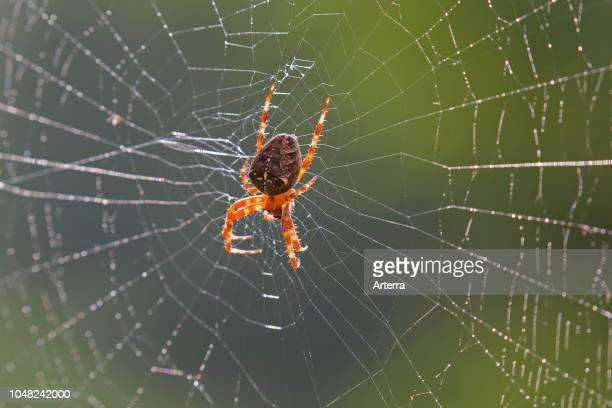 European garden spider / diadem spider / cross spider / crowned orb weaver in spider's web.