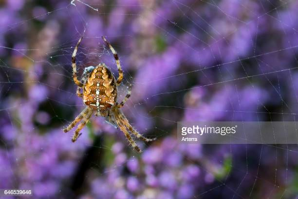 European garden spider / diadem spider / cross spider feeding on caught insect in spider's web made in blooming heather in heathland.