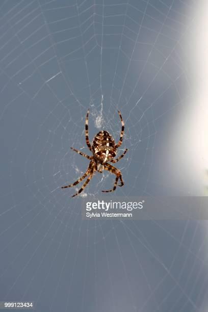 European garden spider, diadem spider, cross spider or cross orbweaver (Araneus diadematus) sitting in spider's web, Mettmann, North Rhine-Westphalia, Germany