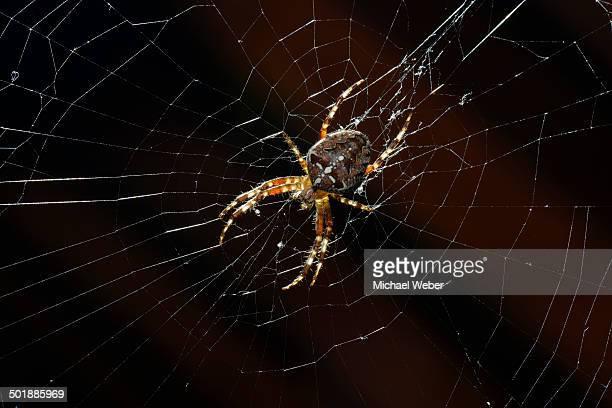 european garden spider, diadem spider or cross orbweaver -araneus diadematus- in a web, stuttgart, baden-wuerttemberg, germany, europe - ニワオニグモ ストックフォトと画像