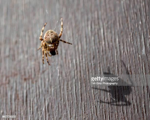 a european garden spider (araneus diadematus) - ニワオニグモ ストックフォトと画像