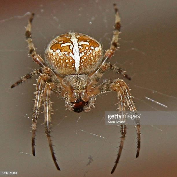 european garden spider - ニワオニグモ ストックフォトと画像