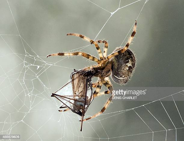 A European garden spider wraps its prey a mosquito in silk on September 16 2014 in Lille France AFP PHOTO / DENIS CHARLET