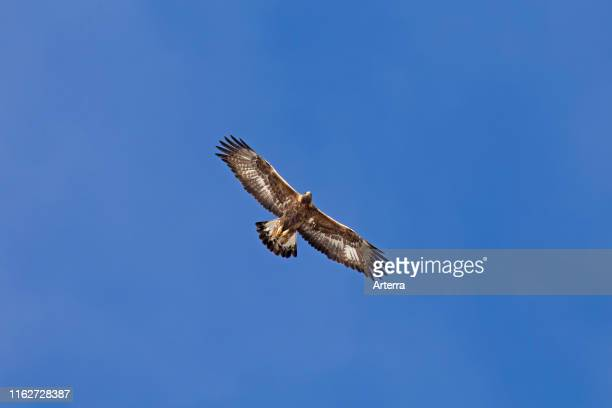 European golden eagle juvenile in flight soaring against blue sky.