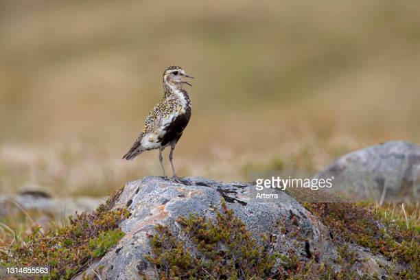 European golden plover female in breeding plumage calling on the tundra in summer.