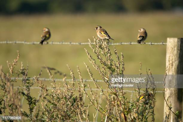 european goldfinch bird flock perched on stonehenge plants fence wiltshire uk - milehightraveler stock pictures, royalty-free photos & images
