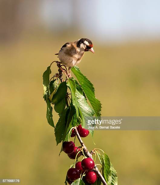European Goldfinch (Carduelis carduelis),  is a small passerine bird in the finch family. Put on the branch of a cherry-tree with mature cherries
