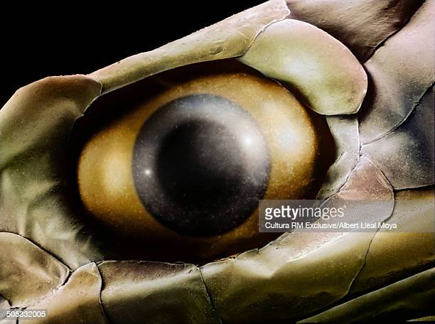 European grass snake (Natrix natrix astreptophora) eye. Magnified 11,5x