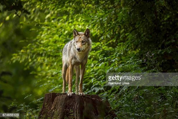 European Gray Wolf, Canis lupus lupus