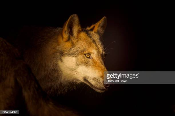 European Gray Wolf, Canis lupus lupus, Portrait, Germany